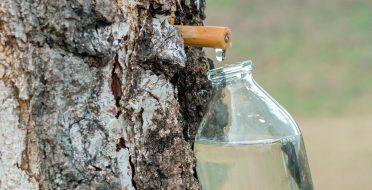 Gamtos energinis gėrimas – sula. Kada ir kaip?
